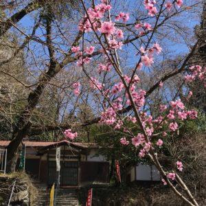 真福寺と花桃