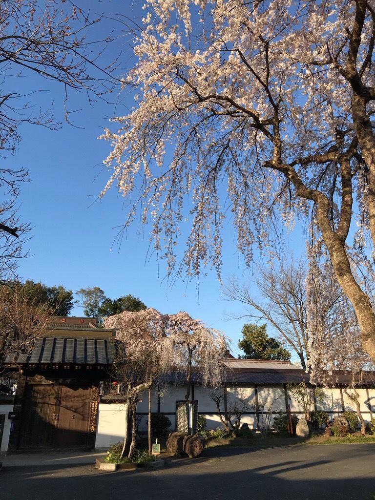 西光寺と枝垂れ桜