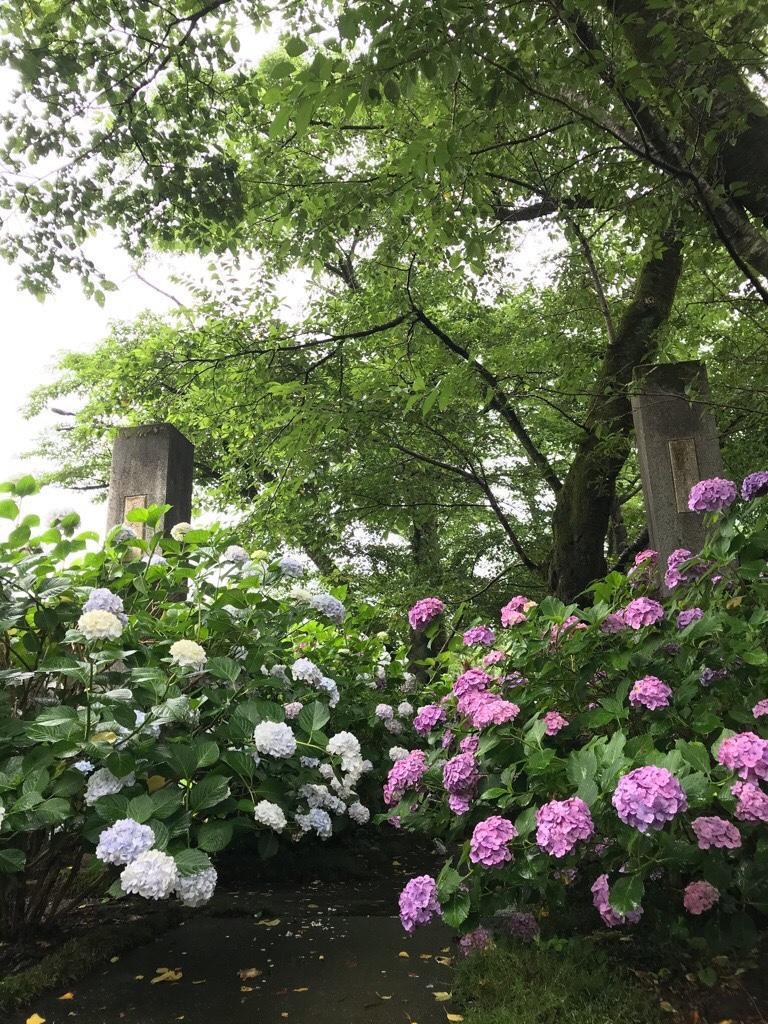 長念寺入り口の紫陽花